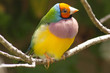 Gouldian Orange headed finch