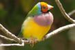 Gouldian Orange headed finch