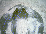 Snout of blue-spotted Ray poster