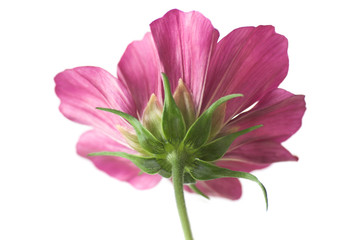 Cosmos isolated on white