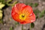 Iceland poppy flower poster