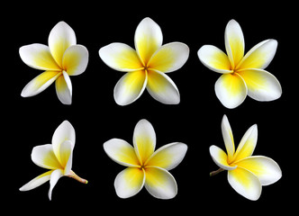 Lot de fleurs de frangipanier