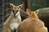 kangaroos in zoo poster