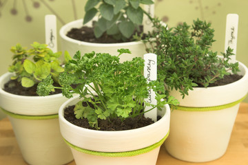 Fresh potted herbs