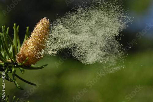 pollen au vent