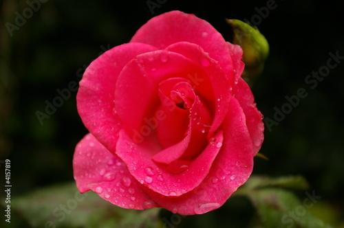 rosa-rote Blume mit Tautropfen