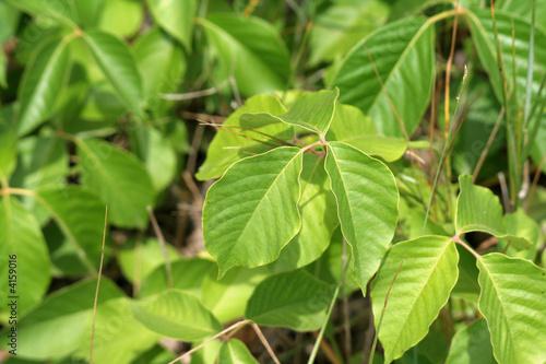 Beach Variety Poison Ivy