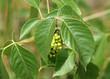Poison Ivy Closeup