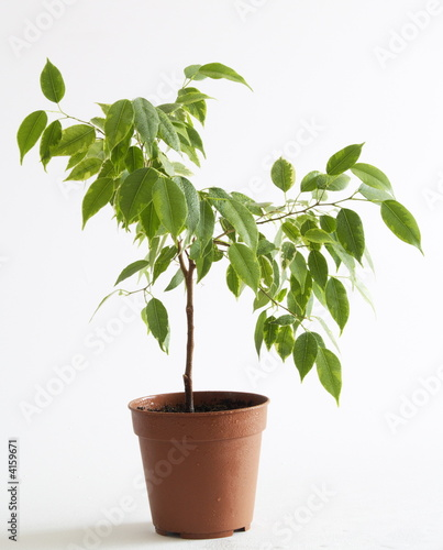Diagonal ficus tree in flowerpot