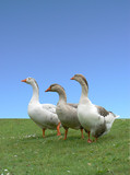 Three domestic Greylag Geese poster