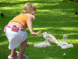 Little blonde girl observing baby cygnets poster