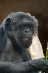 chimpanzee monkey with mouth open