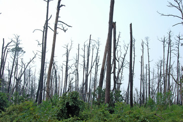 Dead Trees from Katrina