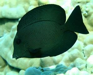 Black Surgeonfish (Chevron Tang)