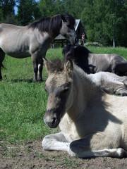 Tarpan like polish horse