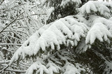 Spruce branch snow wrapped poster