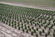 Chrysanthem Plantage