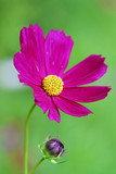 purple cosmos flower in the gardens poster