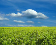 Corn field under blue sky