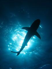 Tiburon Sobre mi 2007