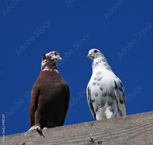 pedigree pigeon20