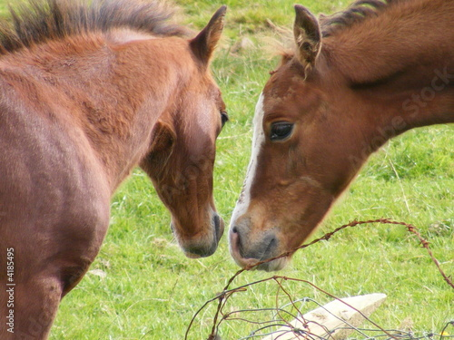 two foals at a fallen wire fence