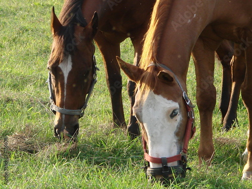 Horses Grazing Close-Up