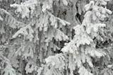 Spruce branches wrapped by fresh frost poster