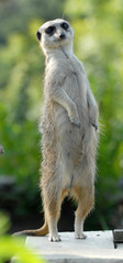 suricate debout