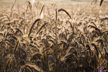 Ears of a crop