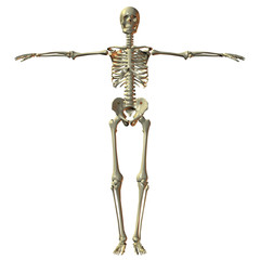 Male 3D  Skeleton