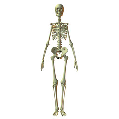 Female 3D Skeleton
