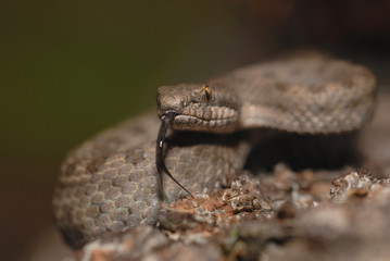 Twin-spotted rattle snake