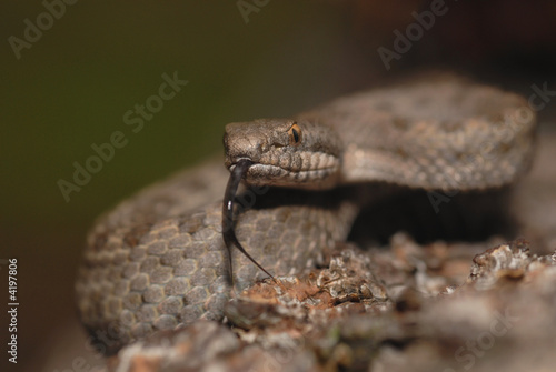 Twin-spotted rattle snake Poster