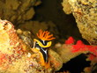 Nudibranquio Sharm