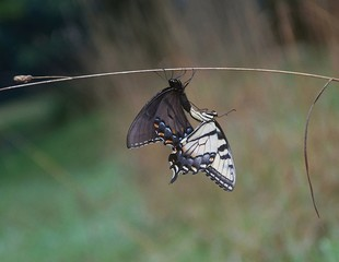 Swallotail Butterflies