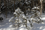 wood(timber) taiga in(to;at) snow           poster