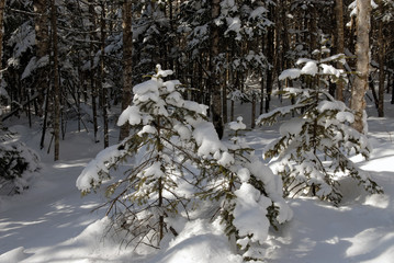 wood(timber) taiga in(to;at) snow