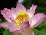 fleur de lotus - 4206861