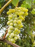 Cacho de uvas verdes poster