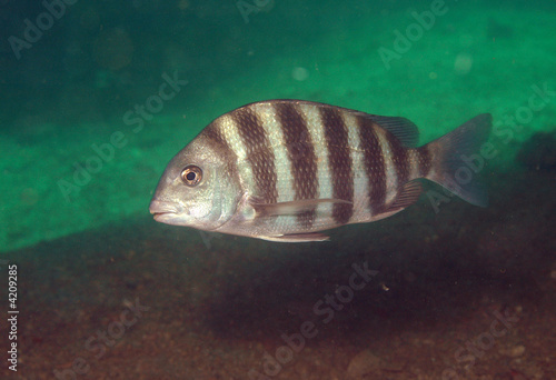 Sheepshead underwater at Venice, Florida.
