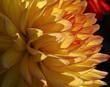 dahlia Petals