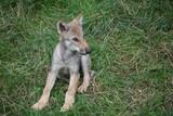 Junger Wolf poster