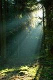 Misty morning in coniferous forest poster