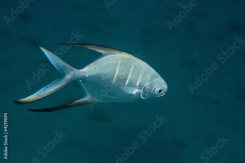 Palometa underwater at Bonaire, Netherlands Antilles.