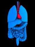 organ anatomie poster