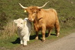 cow and calf 2