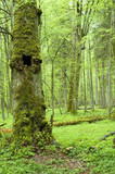 Old natural forest with old tree in foreground poster