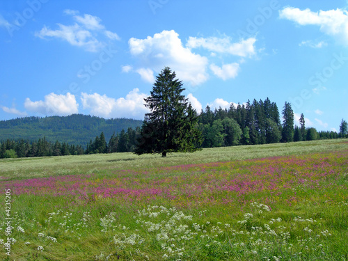 Meadow with violet flowers