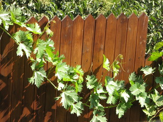 grape leaves on a fence